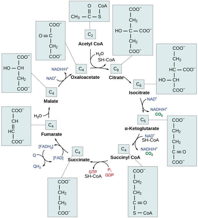 چرخه اسید سیتریک