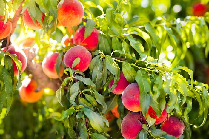 متابولیسم و سنتز سوربیتول در درختان میوه
