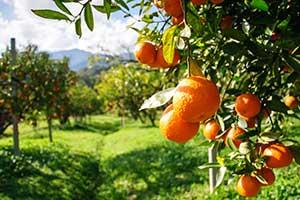 ۶ اثر مثبت اسید سیتریک در کشاورزی