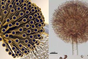 بررسی اثرات pH و نوع قند بر تولید اسید سیتریک توسط گونه قارچی آسپرژیلوس نایجر
