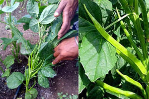 روش کاشت گیاه گوار