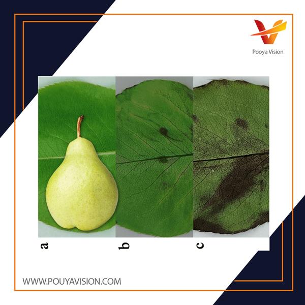 اسیدهای اصلی آلی گلابی شامل اسید مالیک و اسید سیتریک است. اسید مالیک و اسید سیتریک برای طعم میوه گلابی مهم هستند چراکه از قهوه ای شدن برگه های گلابی نیز جلوگیری میکنند.