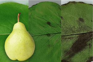 Enzymatic control of pear leaves using citric acid