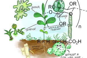 سنتز استات سلولز و کربوکسی متیل سلولز از کاه نخود قند